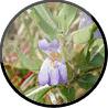 Asteracantha Longifolia